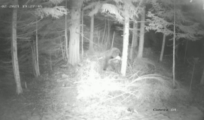 Cameras capture Miloš's bear in the middle of the night:
